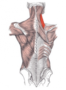 Tennis Ball Self Massage Scapula