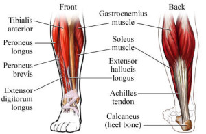 posterior-crural-muscles